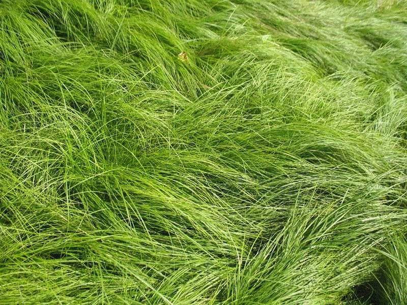 Carex pensylvanica39792